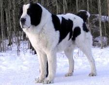 Що за собака азіатська вівчарка