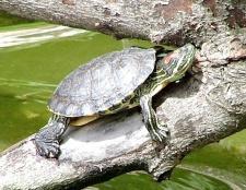 Чи потрібна черепахам вода