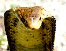 Звідки у змії отрута