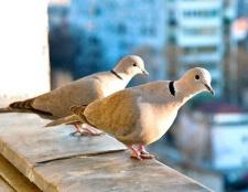 Чому голуби залітають на балкон
