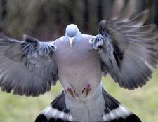 Чому на вулиці можна побачити тільки дорослих голубів