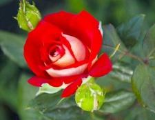 Чому троянда - символ англии