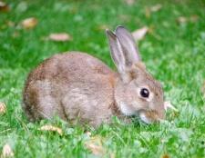Чому в австралії була проблема з кроликами