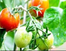 Підживлення помідорів