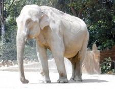 Поголів'я яких слонів більше - індійських або африканських
