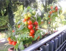 Ранні сорти томатів для балконів і домашніх городів