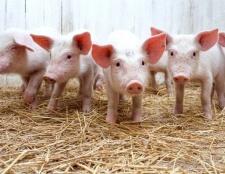 Розведення свиней: яку породу вибрати