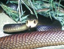 Найбільш отруйні змії