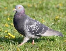Найпоширеніші птиці в росії
