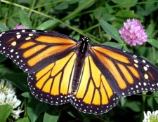Скільки живуть метелики
