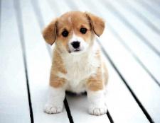 Яка тривалість життя домашнього собаки