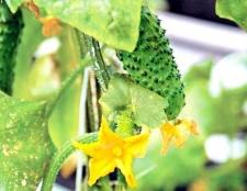 Порада 1: як правильно посадити огірки