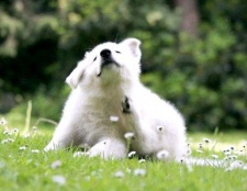Порада 1: як проявляється алергія у собак
