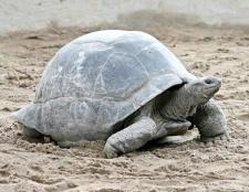 Порада 1: скільки років живе сухопутна черепаха