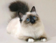 У кішки кров із заднього проходу: причини і лікування