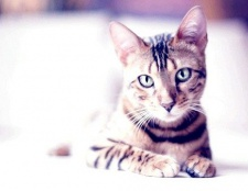 В якому віці можна стерилізувати кішок