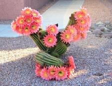 Чи всі кактуси цвітуть