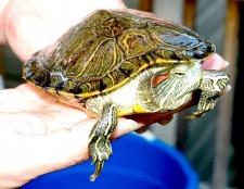 Все про черепах, як їх годувати
